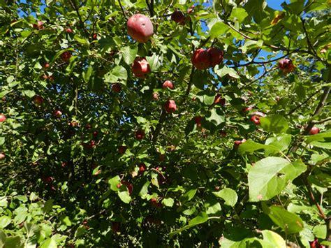 Apple Tree # 1 Free Stock Photo - Public Domain Pictures