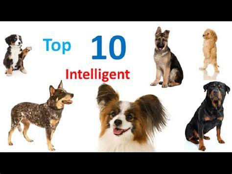 smartest breeds top 10 intelligent dog breeds in the world world s smartest dog breeds youtube