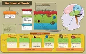 Educative Diagrams  Diagram Of The Sense Of Touch