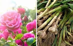 Planter Ail Rose : 26 plantes que vous devriez toujours faire pousser c te c te kiki companion gardening ~ Nature-et-papiers.com Idées de Décoration