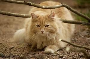 Самые умные породы кошек: факты и фото | Сайт «Мурло»