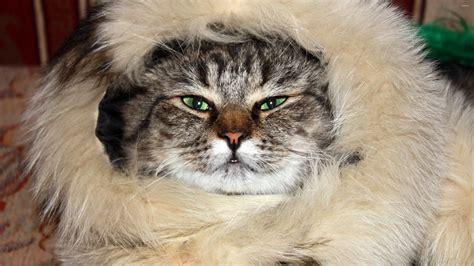 Animal Fur Wallpaper - cat in a fur wallpaper animal wallpapers 37657