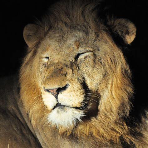 picture  safari male lions  night ulusaba
