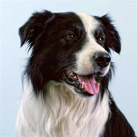 Border Collie Dog Breed Information Pictures Characteristics Facts Dogtime