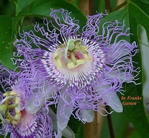 Heidekraut Winterhart Kaufen : passiflora incarnata passionsblume essbare fr chte ~ Lizthompson.info Haus und Dekorationen