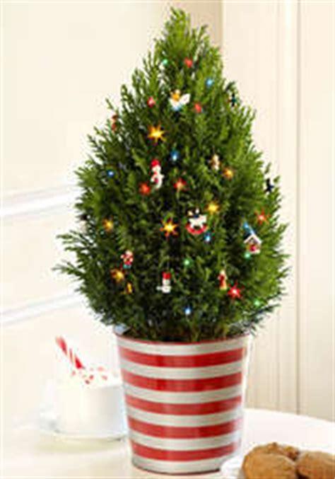 mini christmas tree live miniature tree gift for relatives