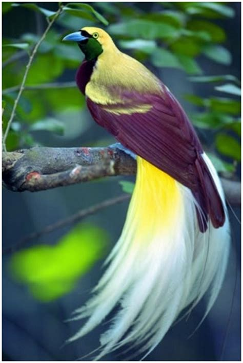bird of paradise birds of paradise pictures facts characteristics behavior appearance animals adda