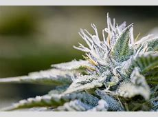 Terpene Communication Among Cannabis Crops Terpenes and