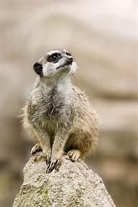 Animal Qui Commence Par U : meerkat wiktionary ~ Medecine-chirurgie-esthetiques.com Avis de Voitures