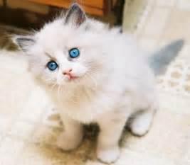popular cat breeds funzug top 10 most popular breeds of cats cat