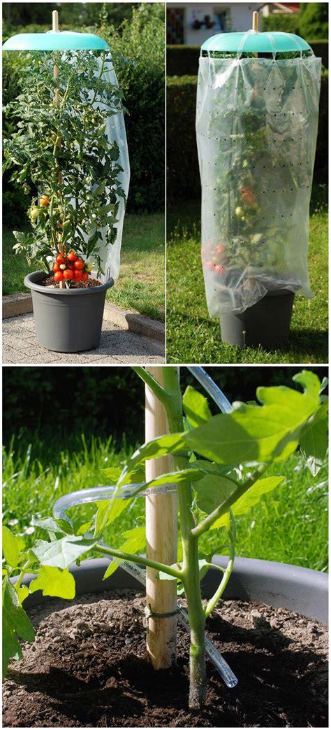 Eine Tolle Idee Seine Tomatenpflanzen Vor Regen Zu
