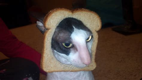 Image 243788 Cat Breading Know Your Meme