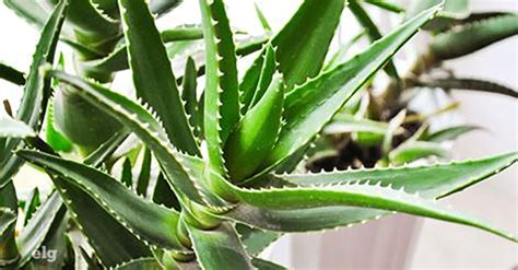 Plantes Répulsives Moustiques Plante Qui Repousse Les Moustiques 11 Plantes Anti