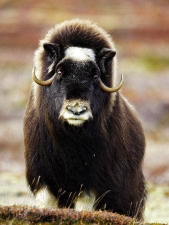 musk ox portrait  adult female  tundra norway