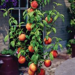 Yalca Fruit Trees