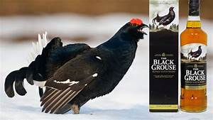 famous, grouse, -, the, black, grouse
