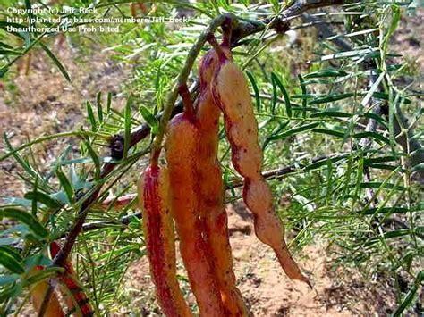 plantfiles pictures prosopis species honey mesquite