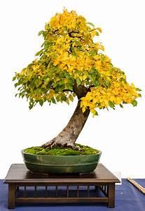 Bonsai Chinesische Ulme : die ulme als bonsai ~ Sanjose-hotels-ca.com Haus und Dekorationen