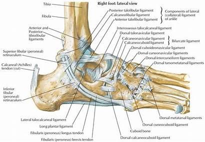 Anatomy Ankle Ligaments Tendons Foot Calcaneus Bone