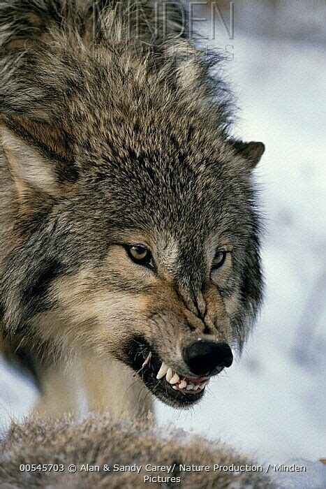 wolf giving  steadfast warning wolf  angry wolf