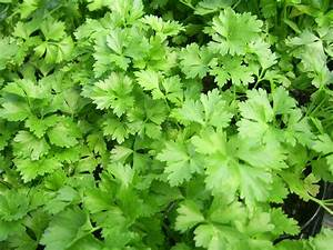 Flat-leaf Parsley Free Stock Photo - Public Domain Pictures