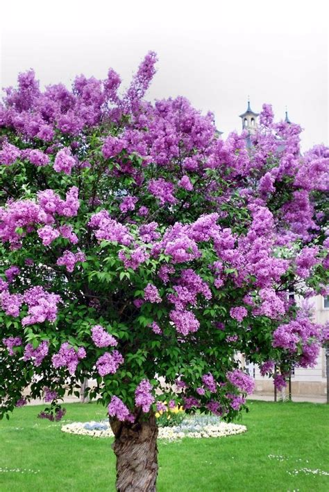 Lilac Tree by Best 25 Lilac Tree Ideas On