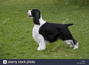 English Springer Spaniel Black And White