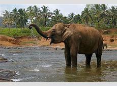 Indian ElephantLaos National Animal Wallpapers9