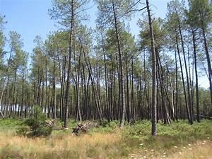 Parquet Pin Des Landes : landes de gascogne wikivoyage le guide de voyage et de ~ Dailycaller-alerts.com Idées de Décoration