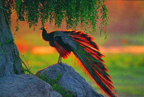 Desktop Hd Wallpapers Free Downloads Peacock Bird Hd