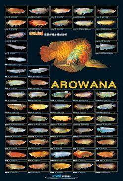 arowana poster arowana fish tropical fish aquarium