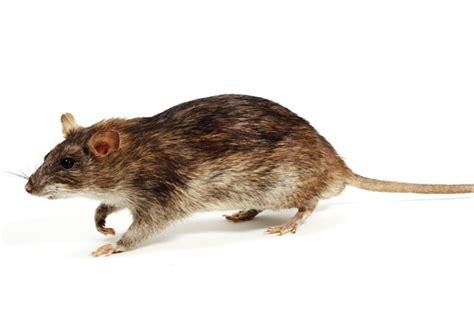 eradication  south georgias rats proves
