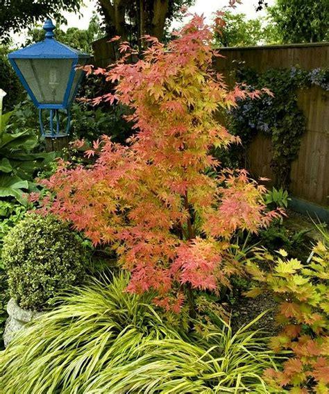 orange japanese maple orange dream japanese maple tree garden plants seeds pinterest japanese maple trees