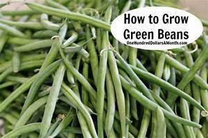 How to Grow Beans {Start to Finish} - One Hundred Dollars ...
