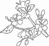 Blossom Cherry Coloring Dogwood Tree Pages Flower Garden Japanese Spring Printable Blossoms Sakura Apple Template Colouring Flowers Ume Drawings Adults sketch template