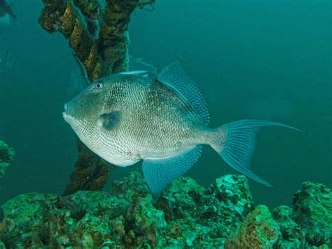 Fwc Approves Gulf Greater Amberjackgray Triggerfish Early
