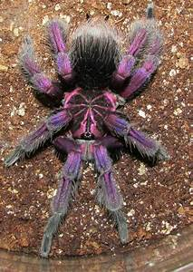 Mature male platyomma tarantula | Buzz.Z.Z.Z | Pinterest