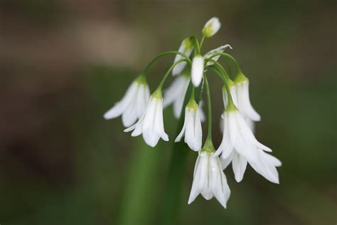 wild onion flower tjp flickr