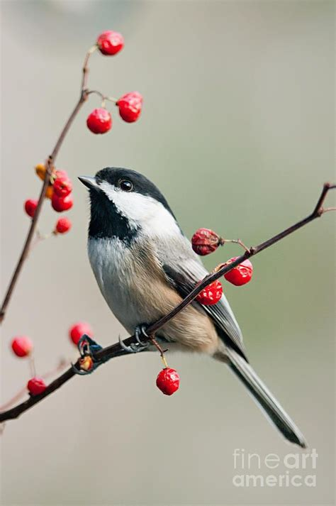 Black Capped Chickadee On Berry Branch Photographs