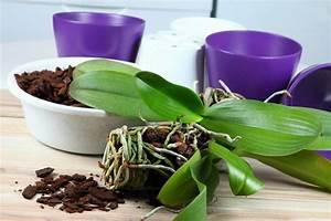 Rempoter Une Orchidee : rempotage d 39 une orchid e conseils pour bien rempoter ~ Mglfilm.com Idées de Décoration