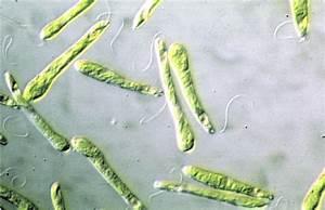 Culture Of Euglena Gracilis Z Cells