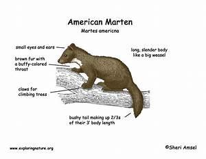Marten  American