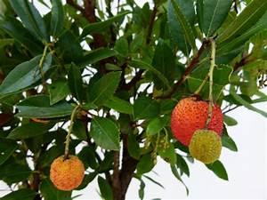Plantes à Feuillage Persistant : arbustes d 39 ornement arbustes de grand d veloppement ~ Premium-room.com Idées de Décoration