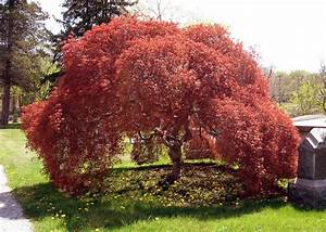 Japanese Maple Trees - Japanese maples are ornamental tree...