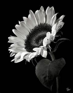 Sunflower in Black and White | Black & White | Pinterest
