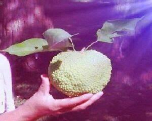 Mediterrane Bäume Winterhart : milchorangenbaum stecklinge mediterrane balkonpflanze winterhart b ume obstb ume ebay ~ Frokenaadalensverden.com Haus und Dekorationen
