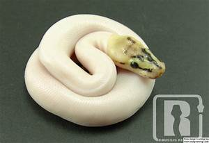Spider Pied/ Leucistic ball python - Reptile Forums