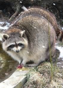Tennessee State Animal Raccoon