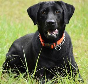 Labrador Retriever Follows His Nose To Find Missing Boy