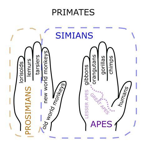 File:Primate Hand Mnemonic.png - Wikipedia